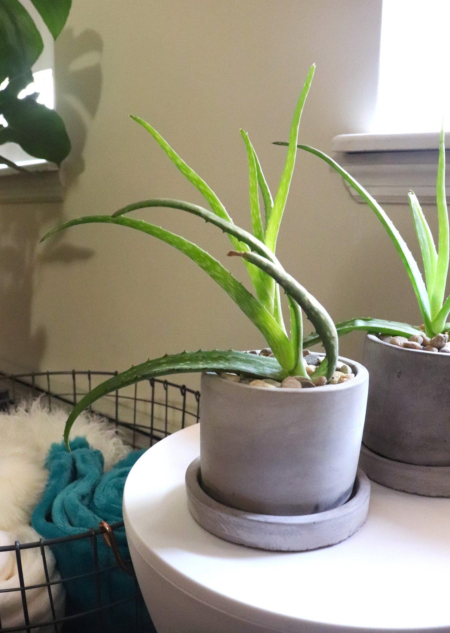 Aloe Plant Pups in Pots