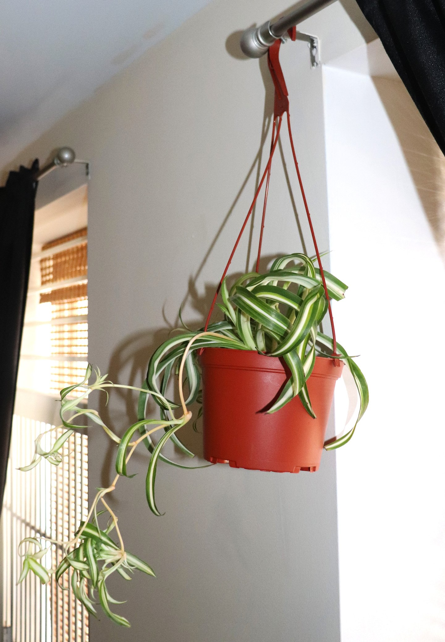 Curly Bonnie Spider Plant in hanging basket