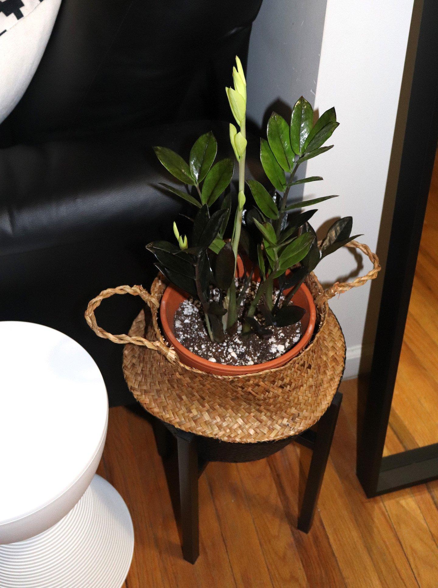 Raven ZZ Plant Decor